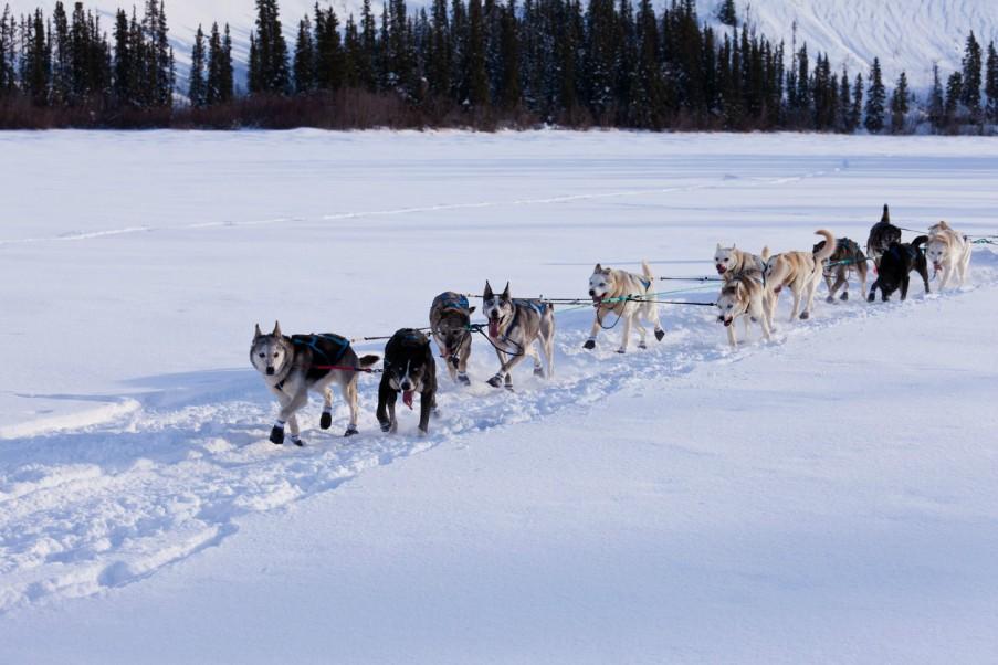 Team of Huskies Pulling a Dog Sled